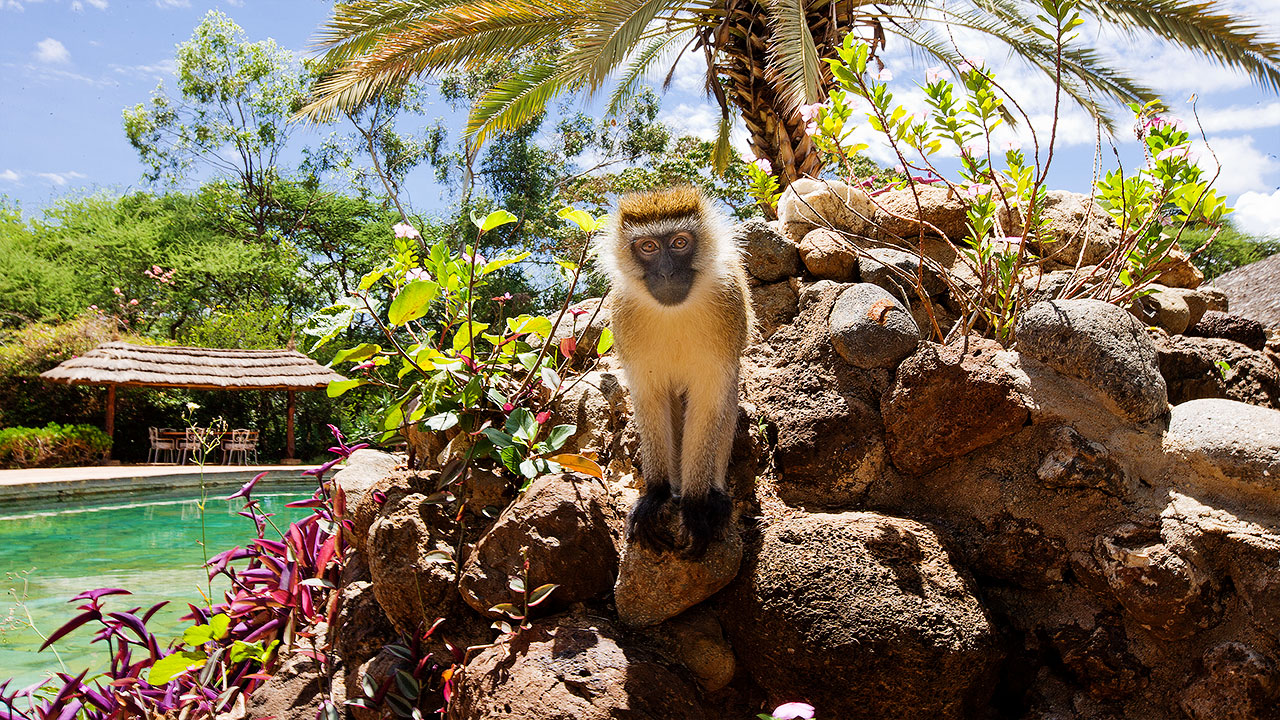 monkey at amboseli sopa lodge