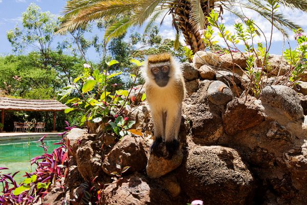 monkey-at-amboseli-sopa-lodge5092A9EF-0ABA-72AB-8D95-3BD56C1F5AC8.jpg