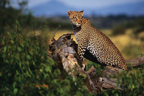leopard8B6BF76F-3F8C-0108-2FC1-D3540627D3DD.jpg